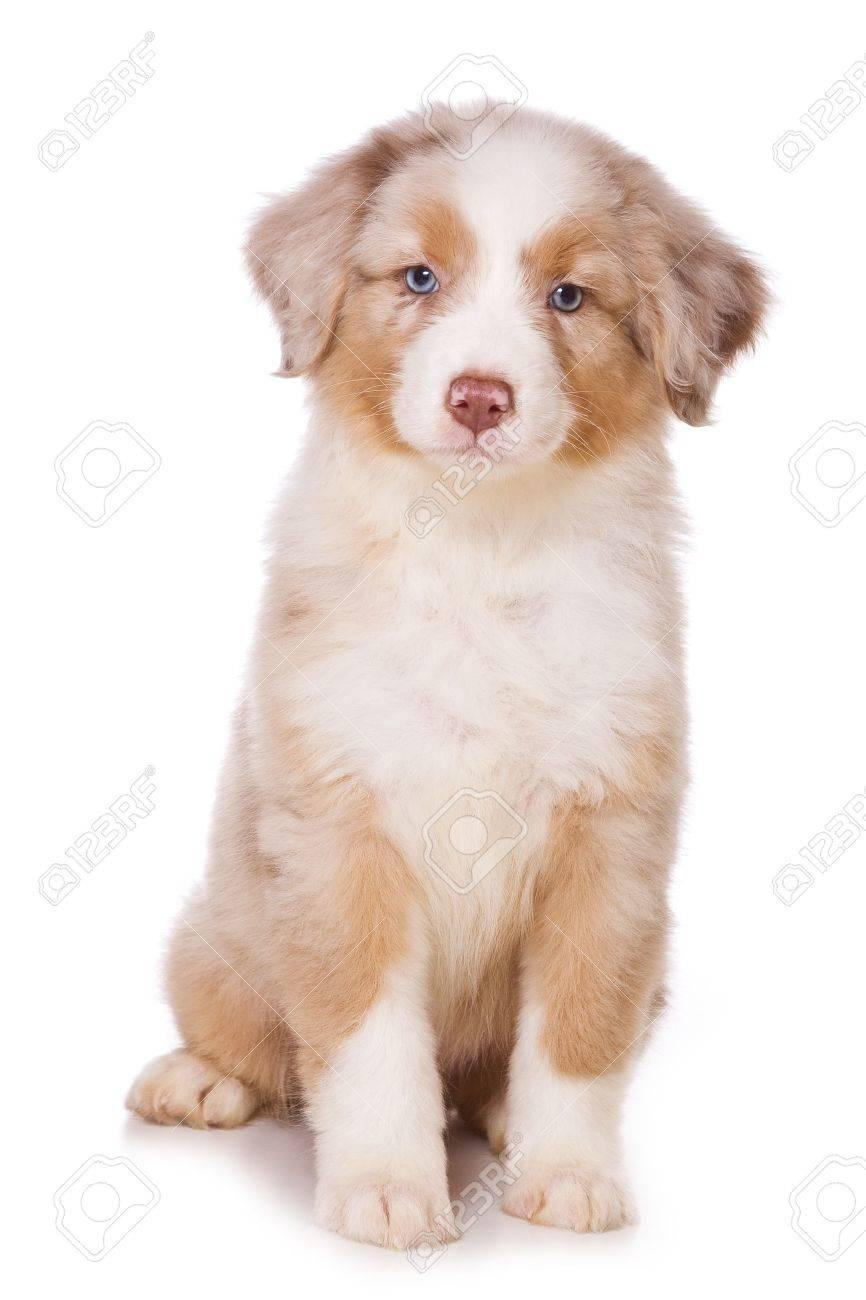Australian Shepherd puppy on white - 9313095