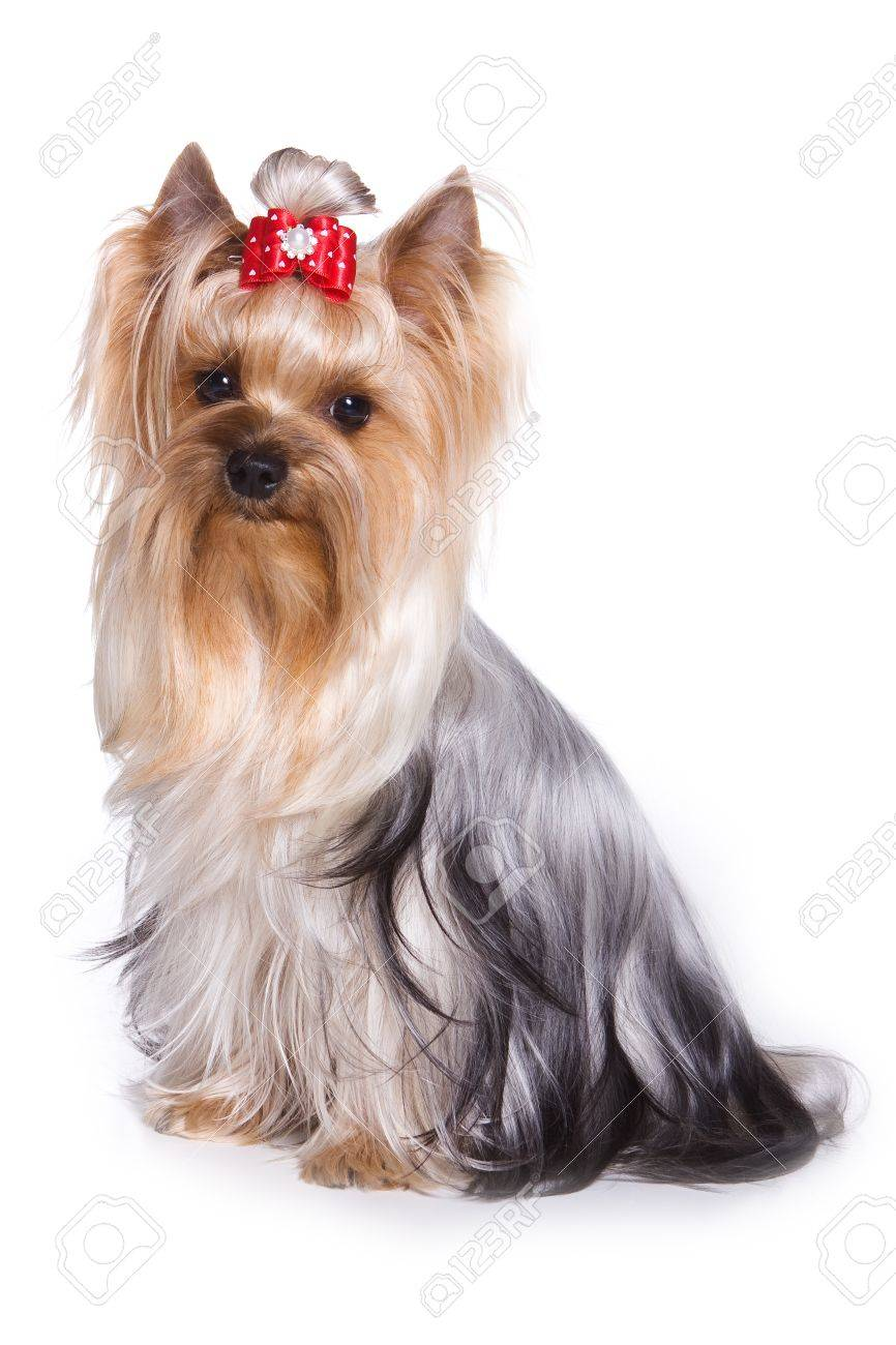 Yorkshire terrier isolated on white - 9352641