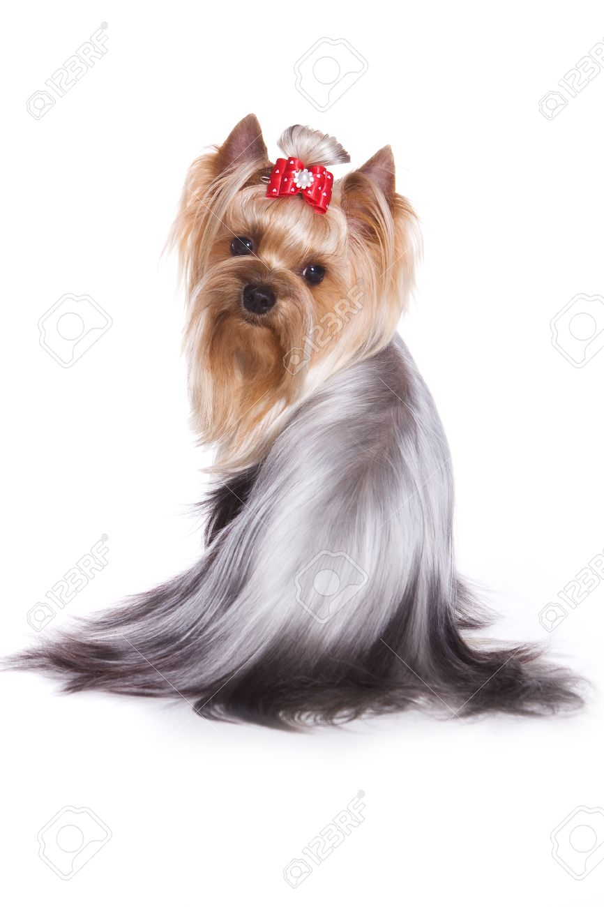 Yorkshire terrier isolated on white - 9352628