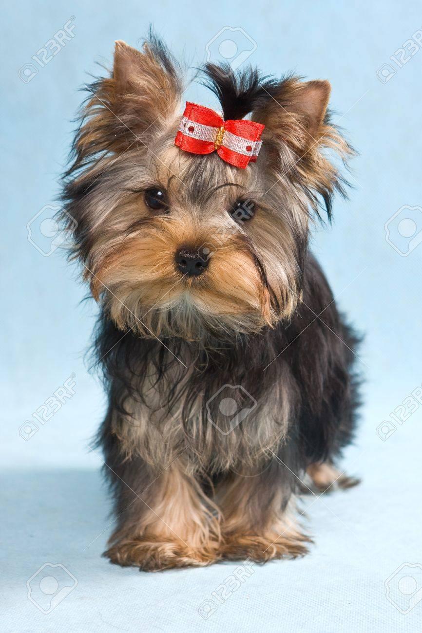 Yorkshire terrier puppy on blue - 9485435