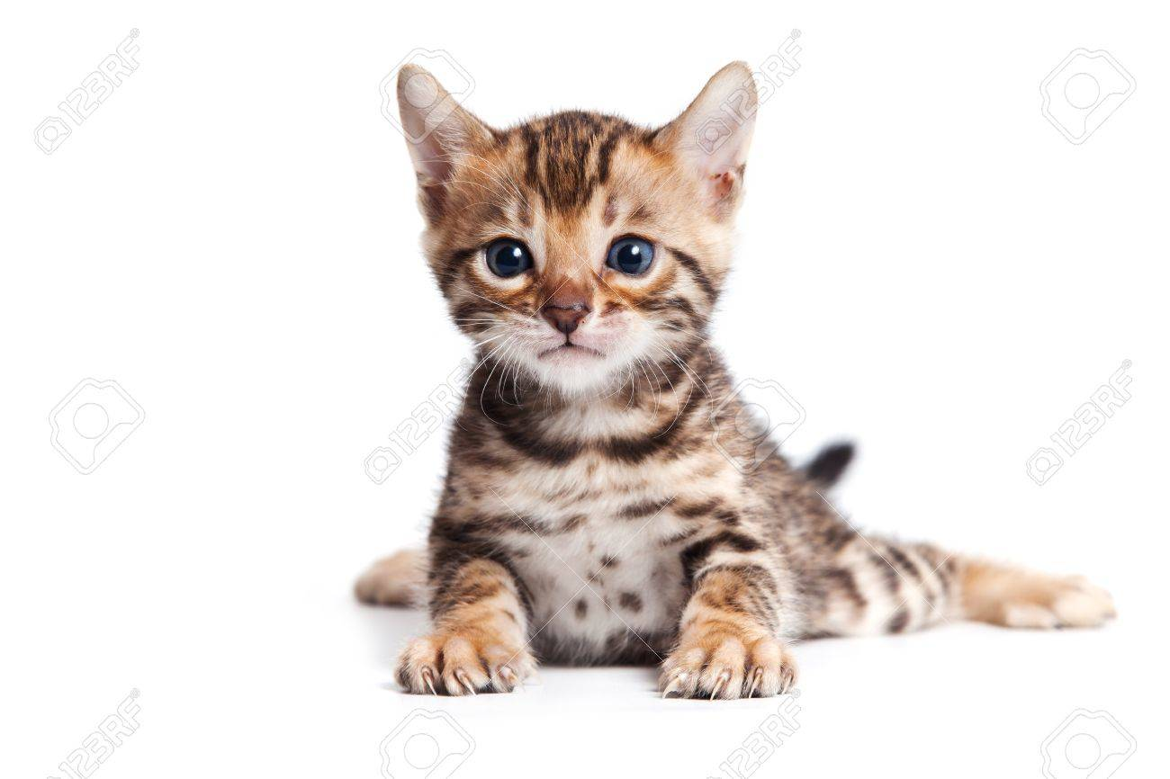Bengal cat on white background - 9896817