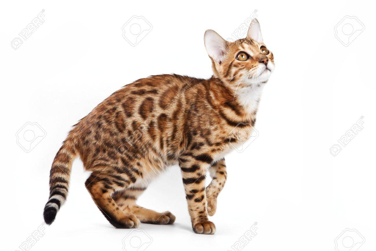 Bengal cat on white background - 9896820