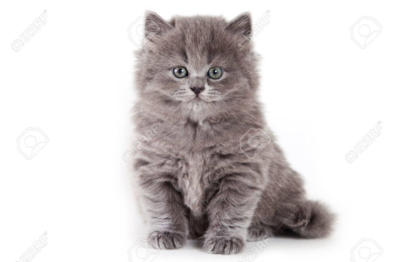 British kitten on white background - 9937315