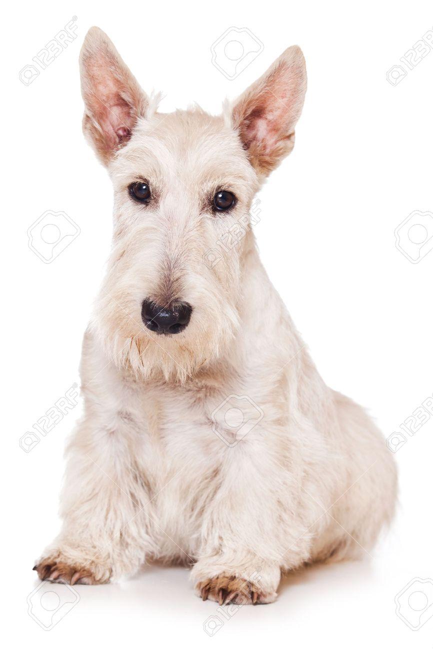 Scottish Terrier on white background - 10040025