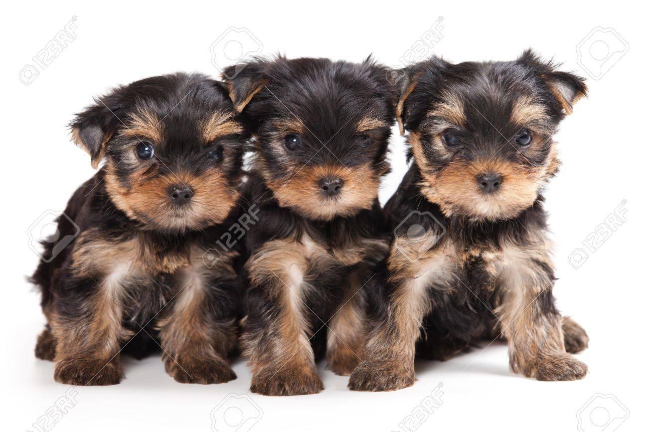 Yorkshire terrier puppy on white - 10178566