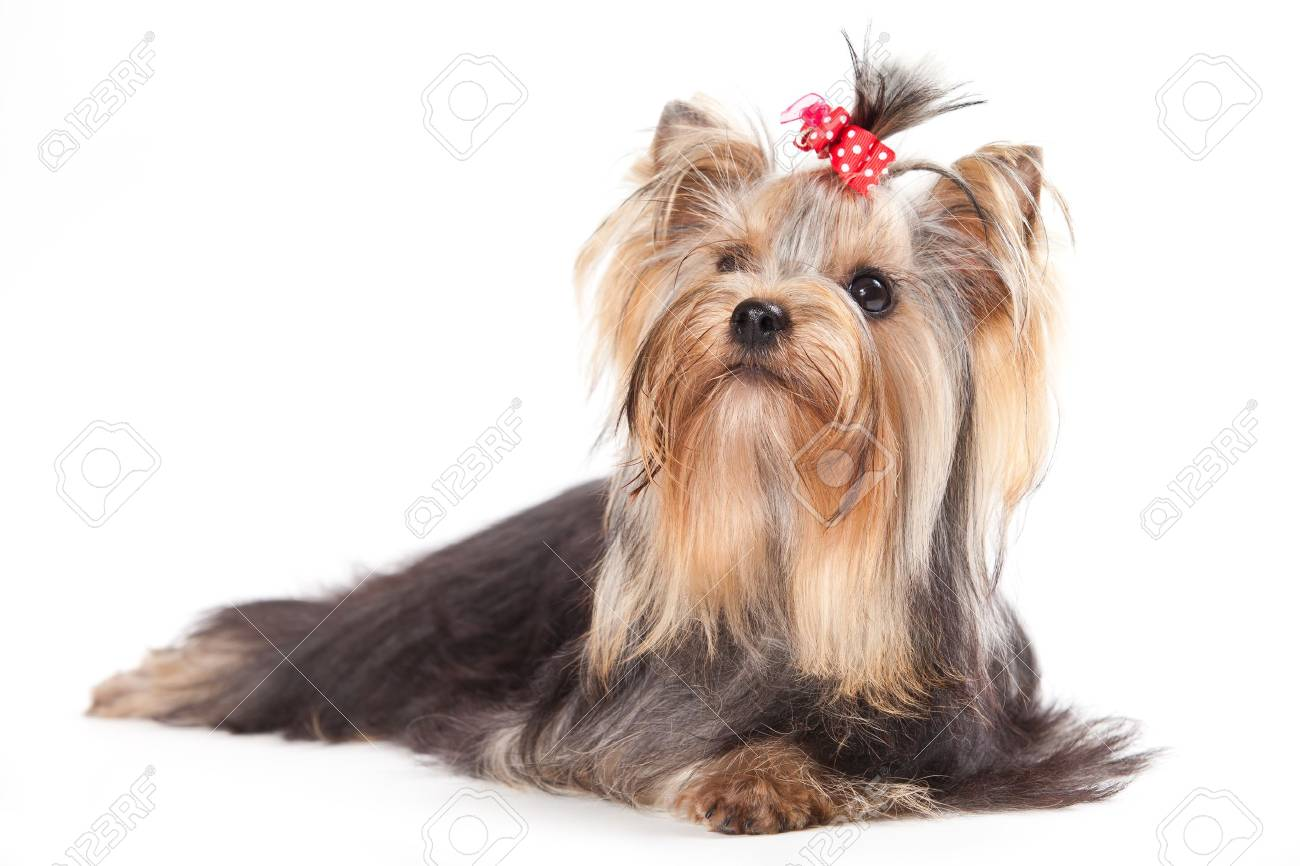 Yorkshire terrier puppy on white - 10223345