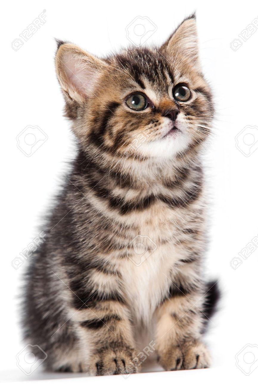 British kitten on white background - 10223346