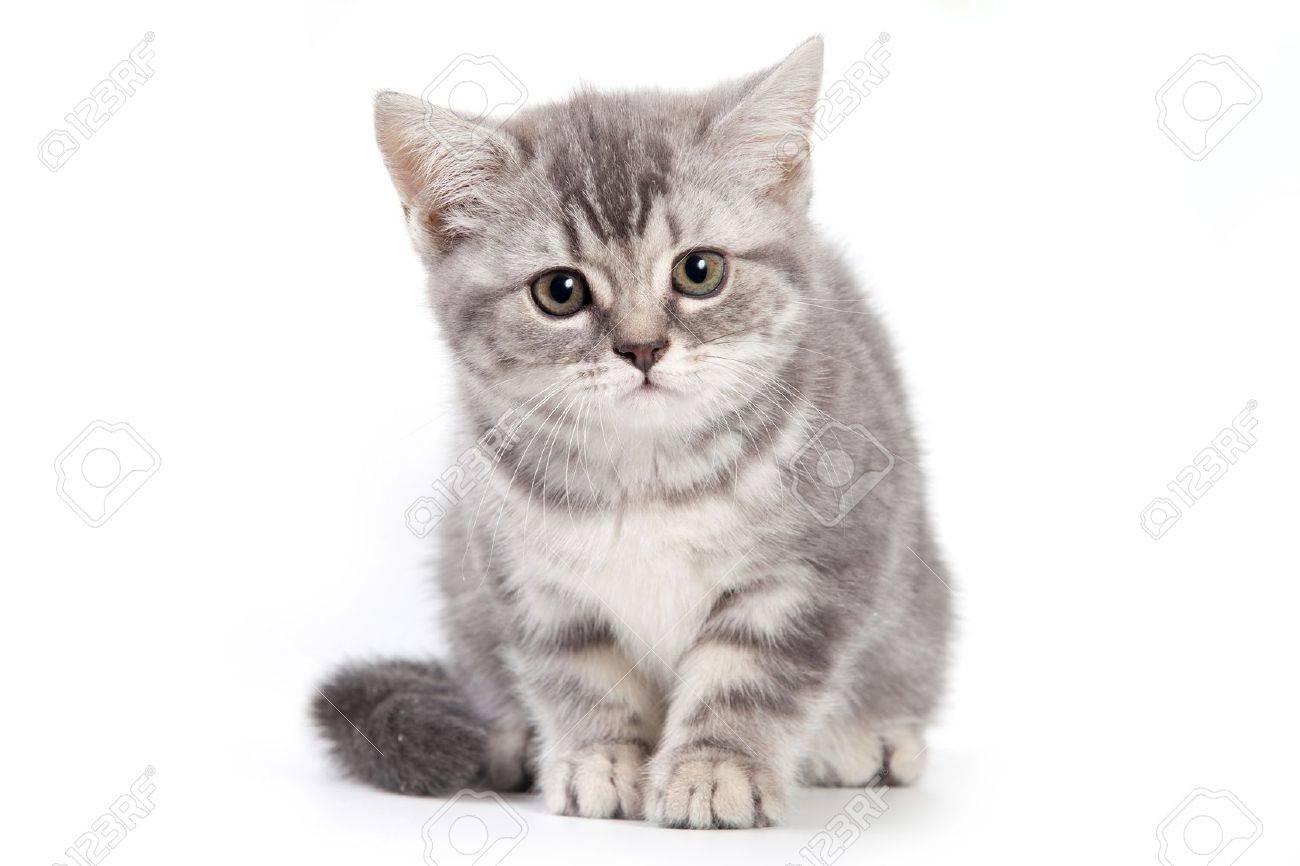 British kitten on white background - 10261986