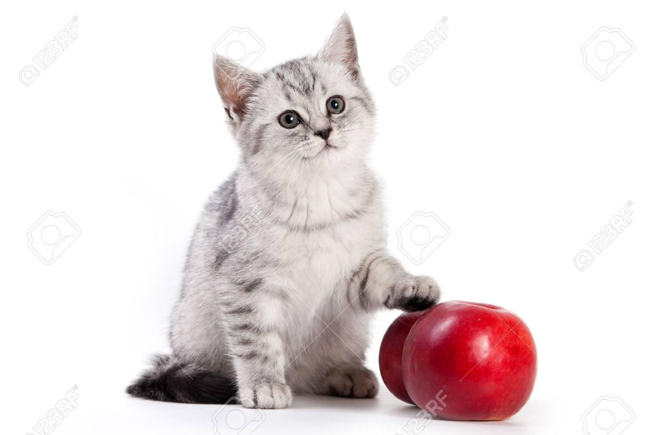 British kitten on white background - 10261985