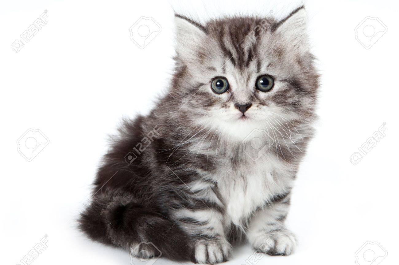 Grey kitten isolated on white - 10505110
