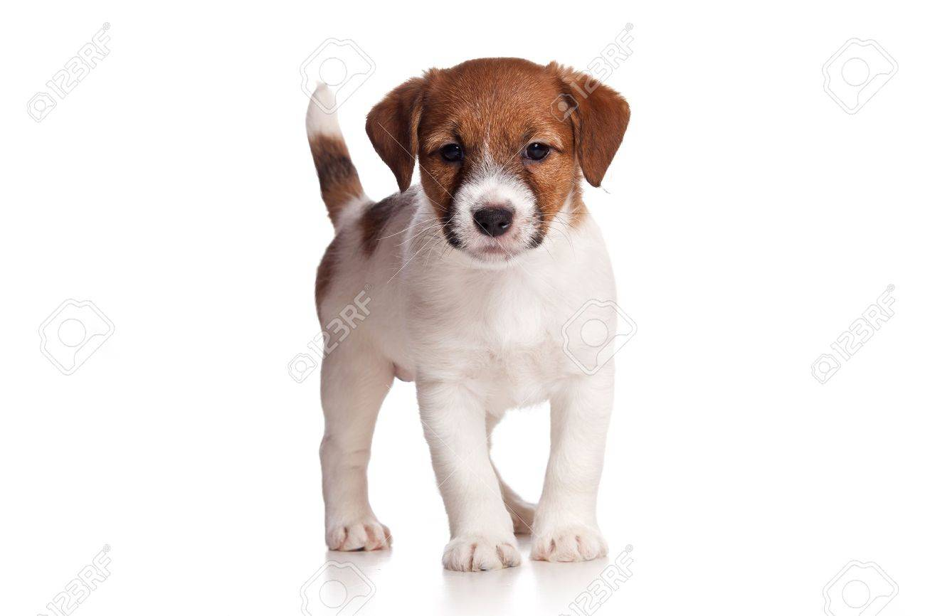Jack Russell puppy on white - 10505100