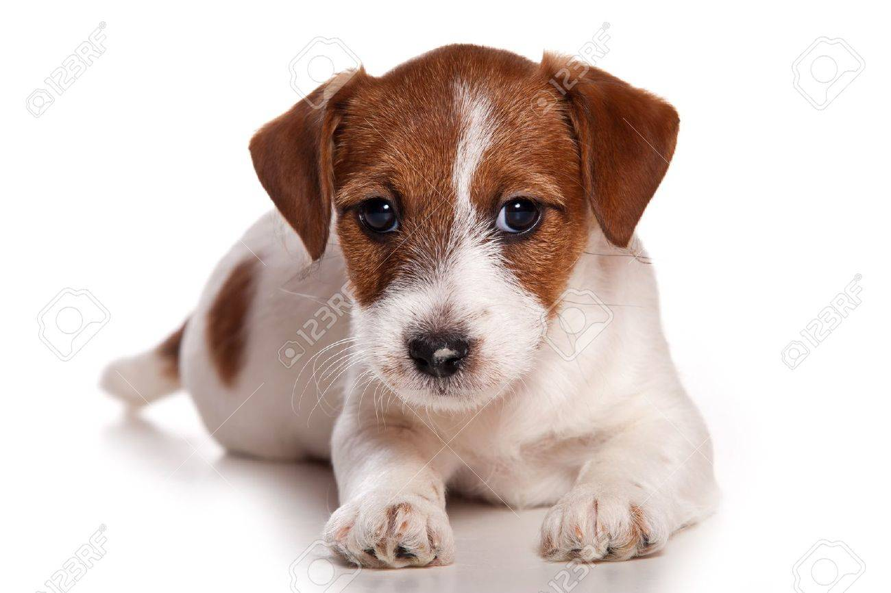 Jack Russell puppy on white - 10505112