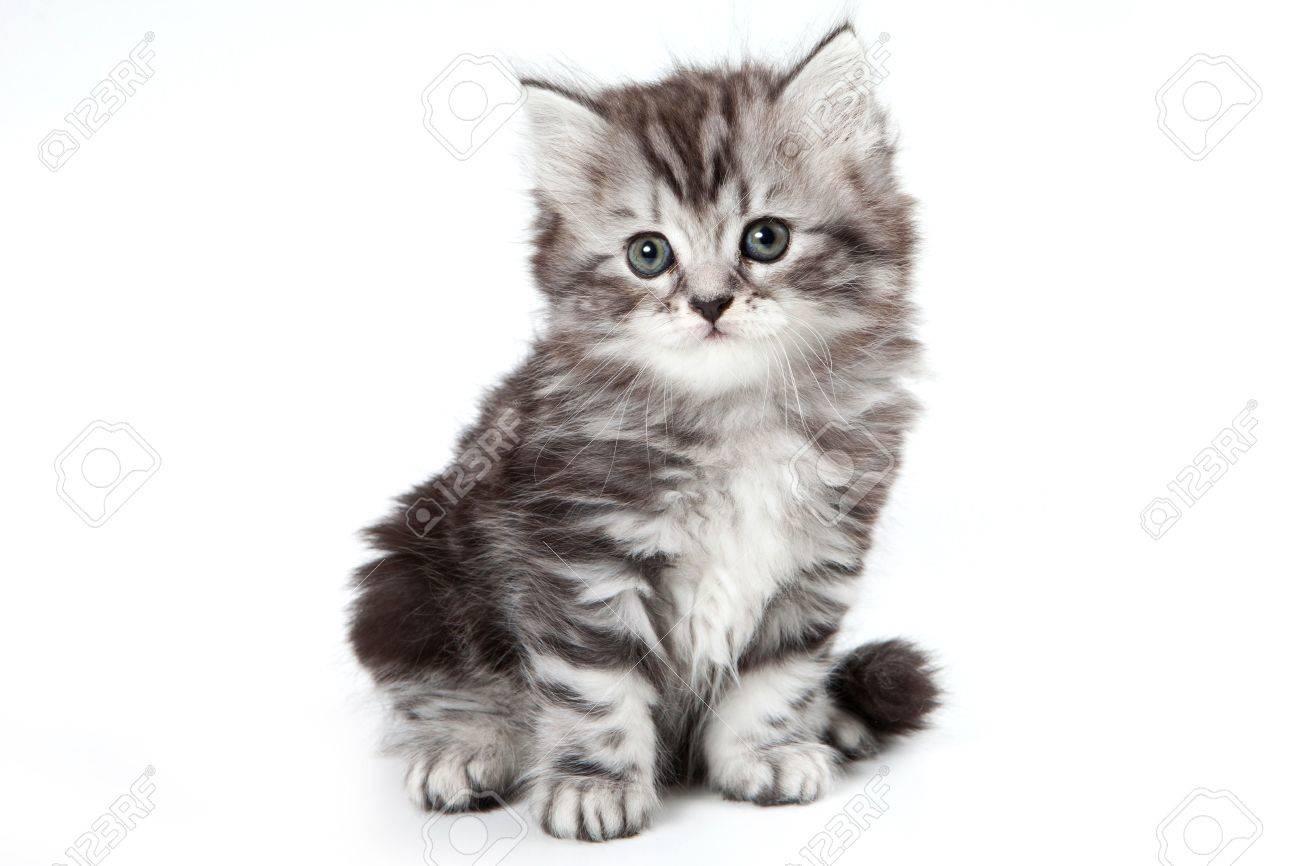 Grey kitten isolated on white - 10551809