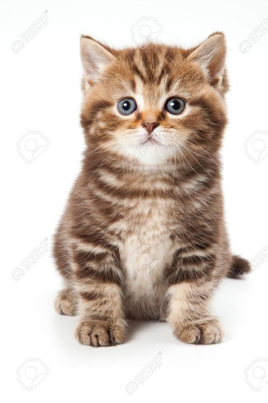 British kitten on white background - 10622735