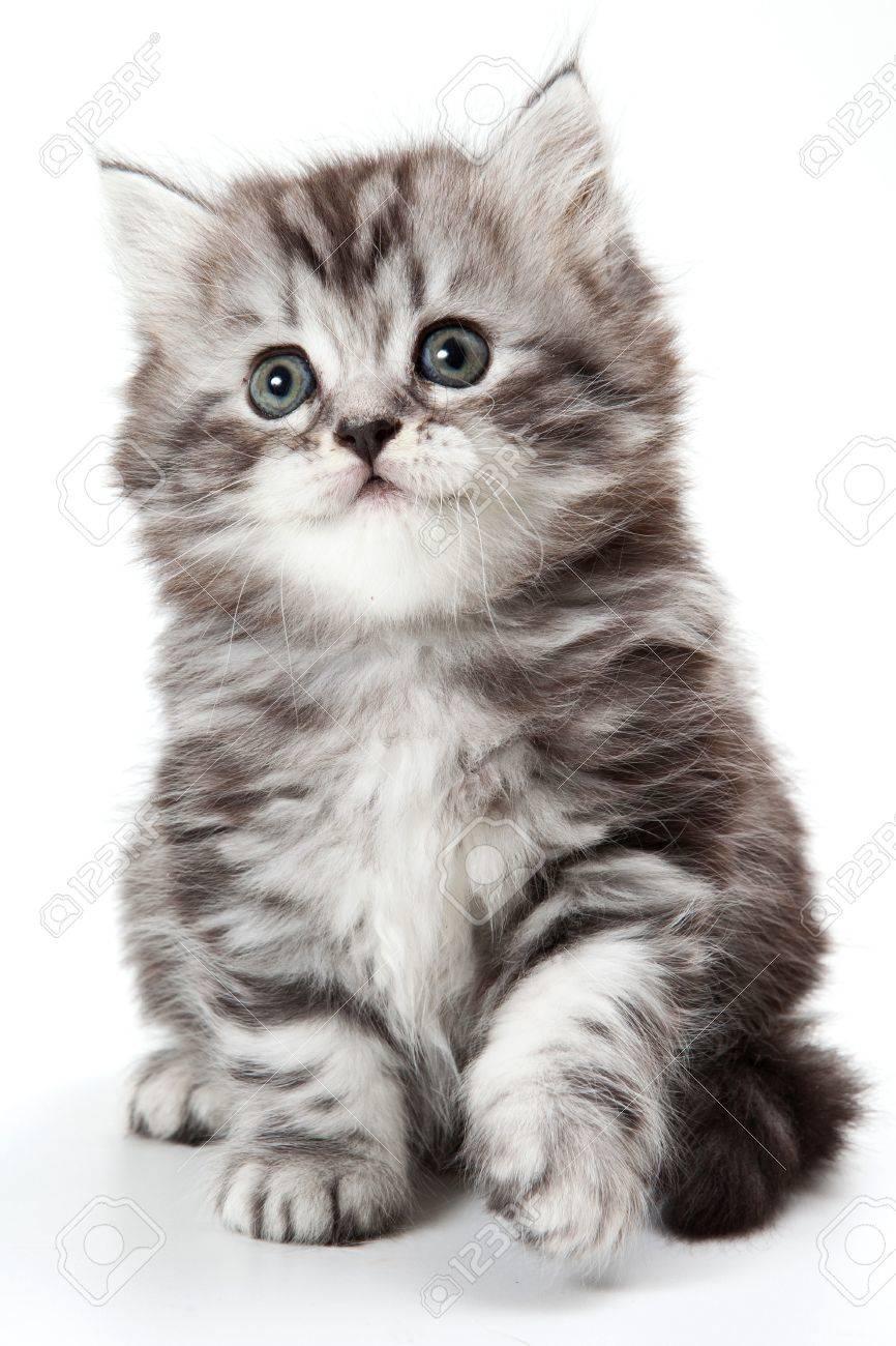 Grey kitten isolated on white - 10662985