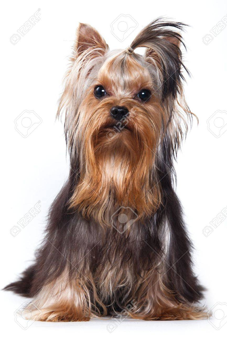 Yorkshire terrier puppy on white - 10775301