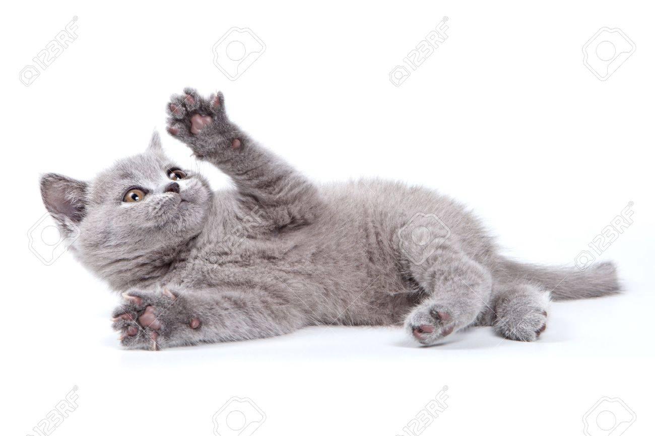 British kitten on white background - 10800602