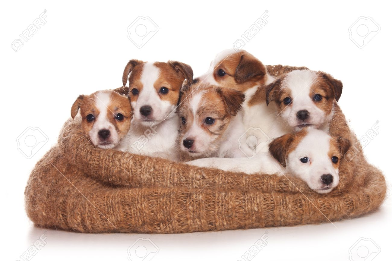 Jack Russell Terrier puppy on white - 10890463