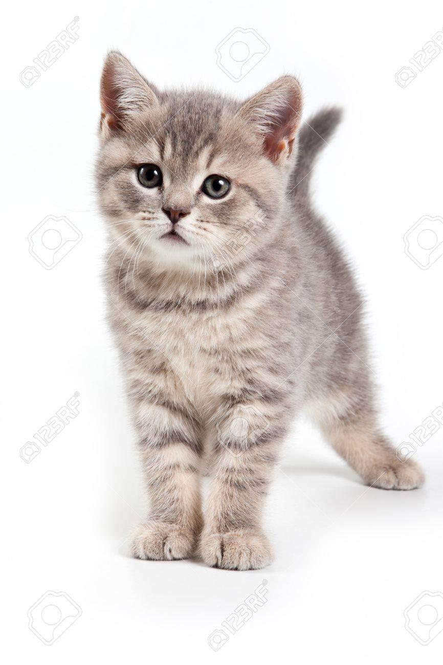 British kitten on white background - 11530872
