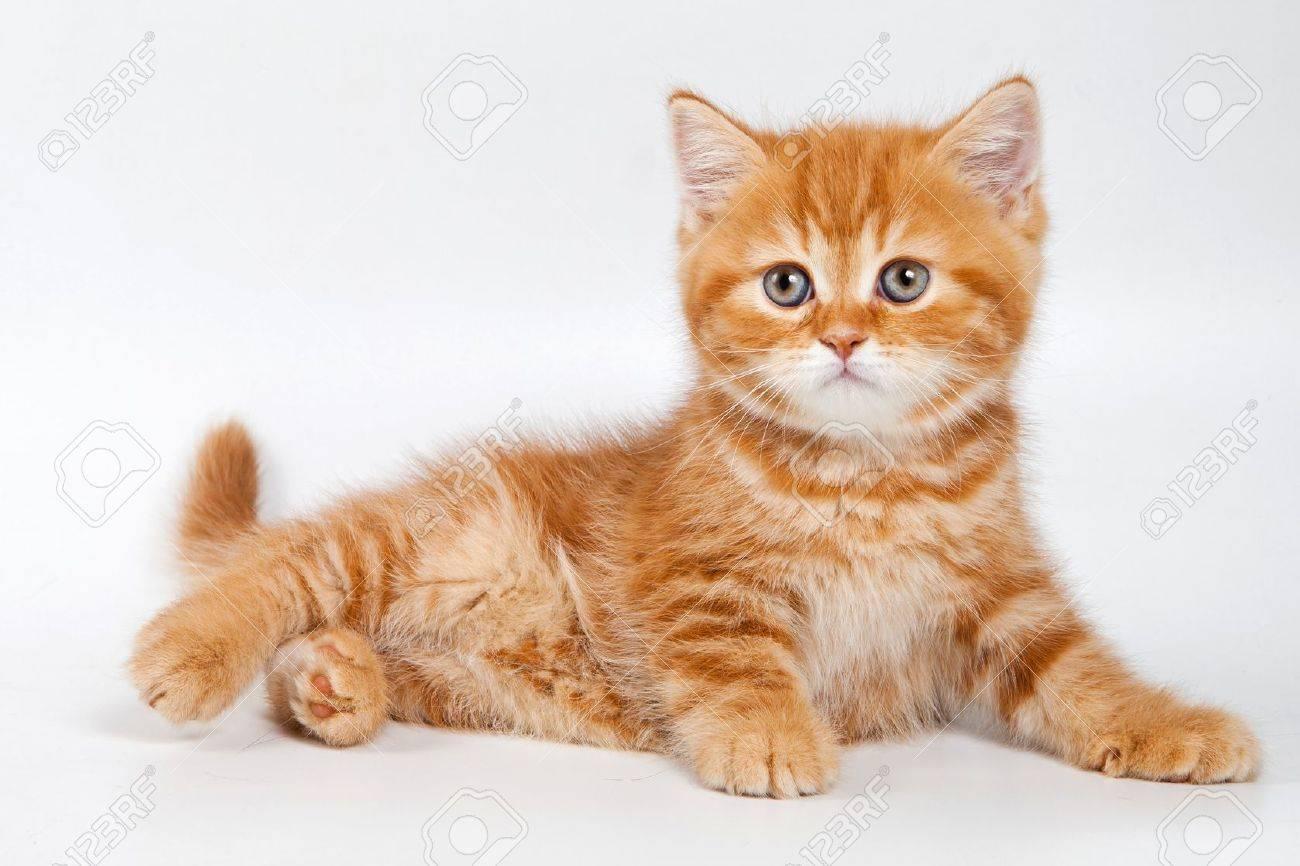 British kitten on white background - 11751076