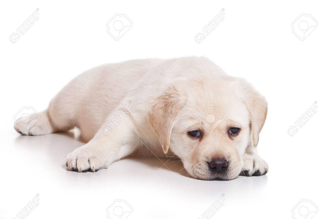 Little Labrador puppy on white background - 12124810