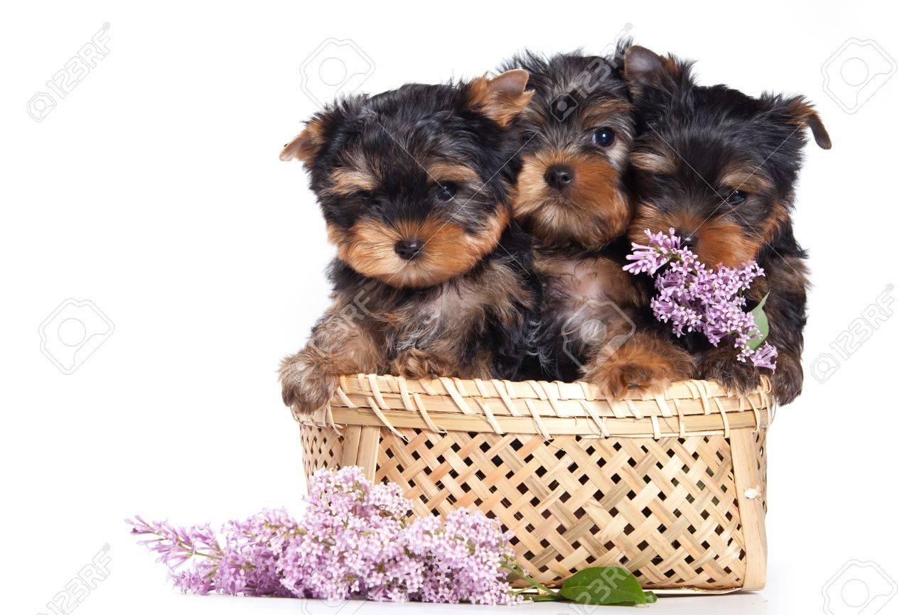 Yorkshire terrier puppy on white - 12751795