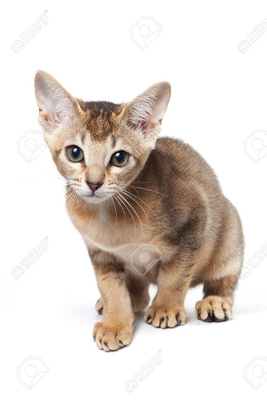 Abyssinian Kitten On White Background Stock Photo, Picture And ...