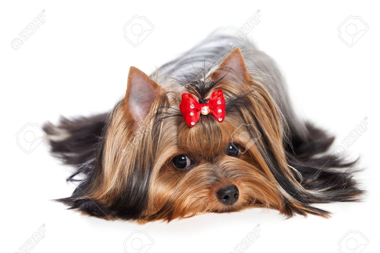 Yorkshire terrier dog on white background - 14894134