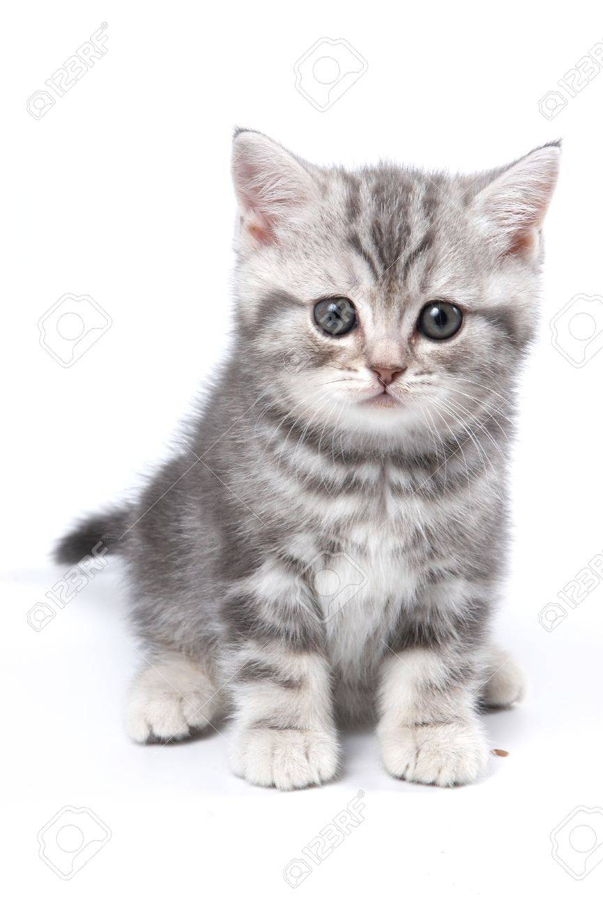 Striped British kitten sitting and looking at the camera (isolated on white) - 45325283