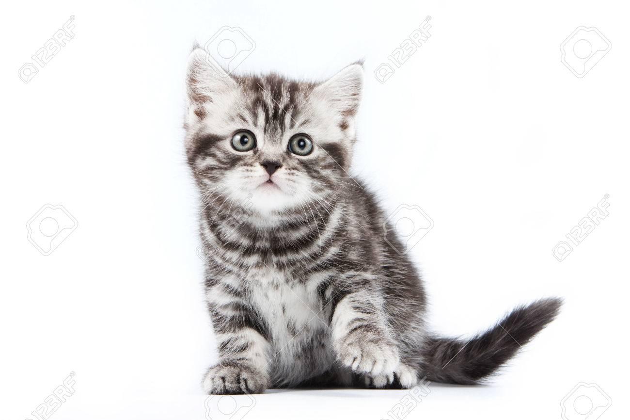 British striped gray kitten (isolated on white) - 50274198