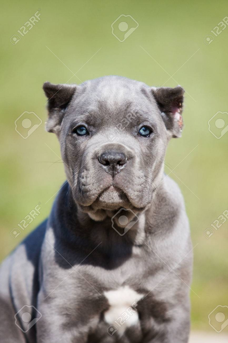 Portrait Of A Gray Puppy Cane Corso On The Grass Stock Photo
