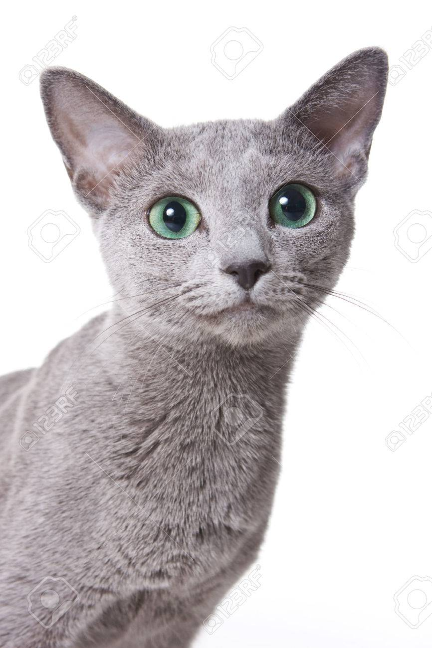 Russian blue cat portrait (isolated on white) - 50274465
