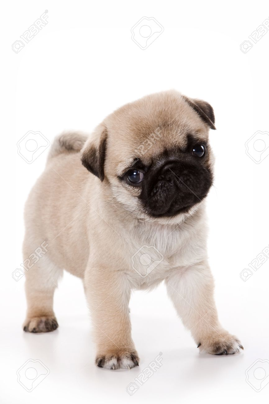 Funny Pug Puppy Looking At The Camera Isolated On White Stock Photo Picture And Royalty Free Image Image 50274510