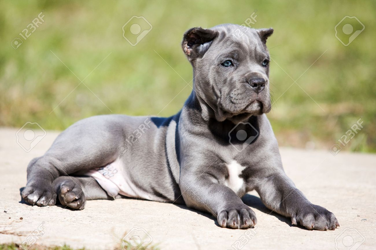Gray Puppy Cane Corso On The Grass Stock Photo Picture And Royalty