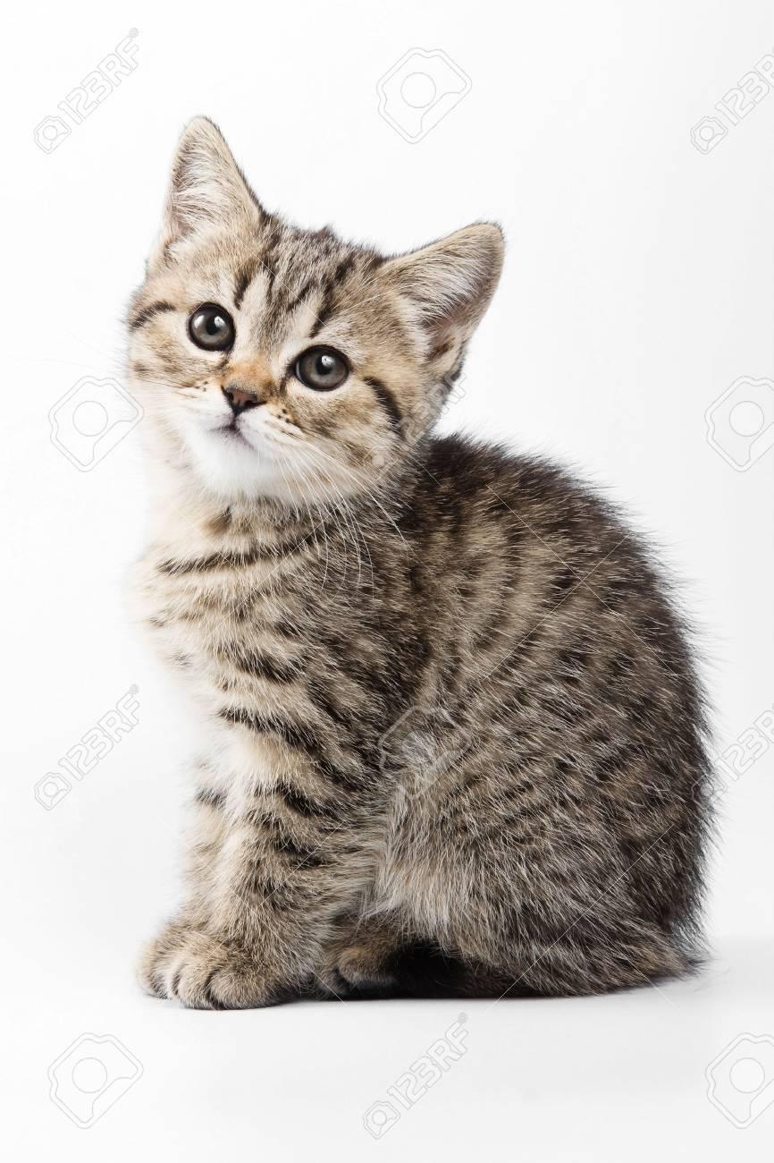 Ongekend Fluffy Grijze Kitten Britse Kat (geïsoleerd Op Wit) Royalty-Vrije JP-61
