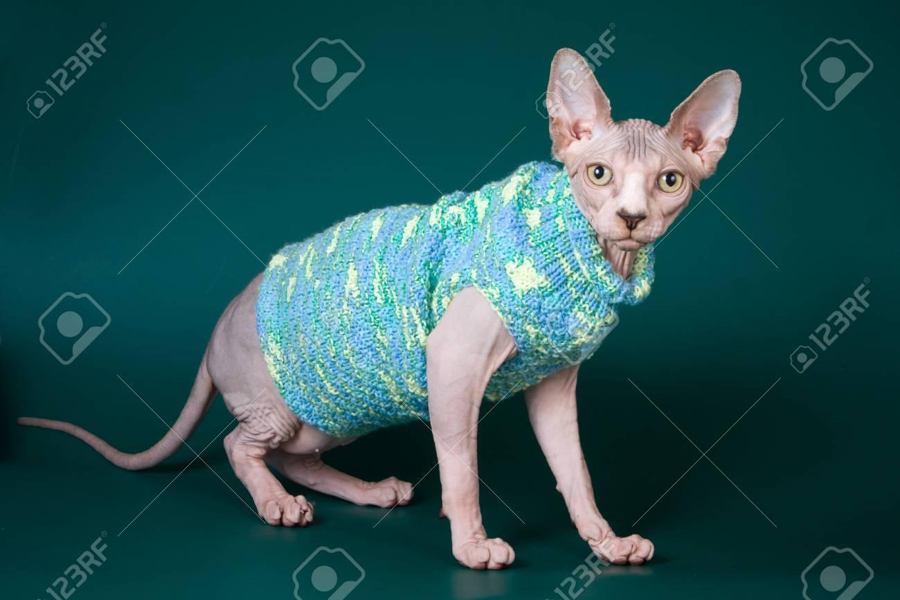 Bald Sphynx kitten in a sweater on a green background