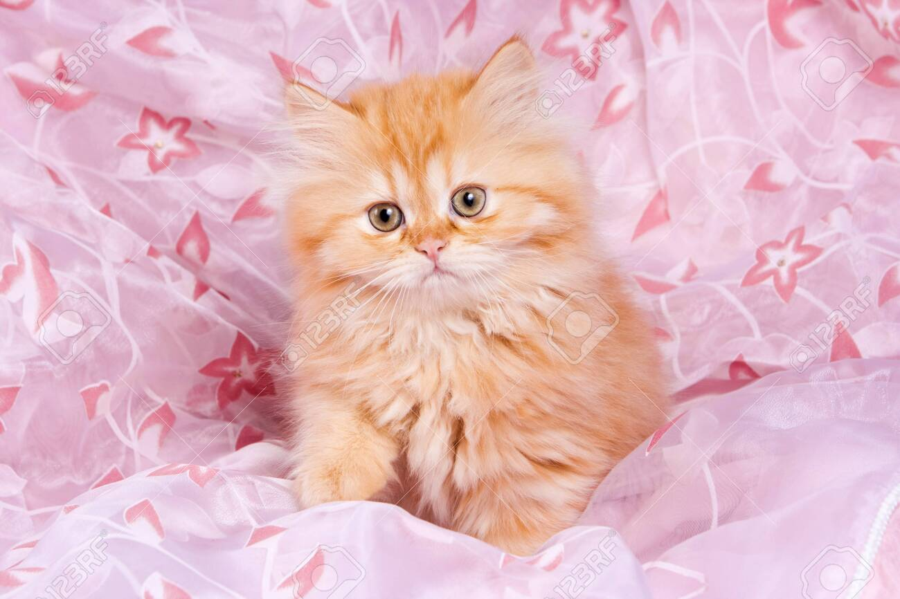 Cute Red Kitten British Cat On A Pink Background Stock Photo Picture And Royalty Free Image Image 123153574