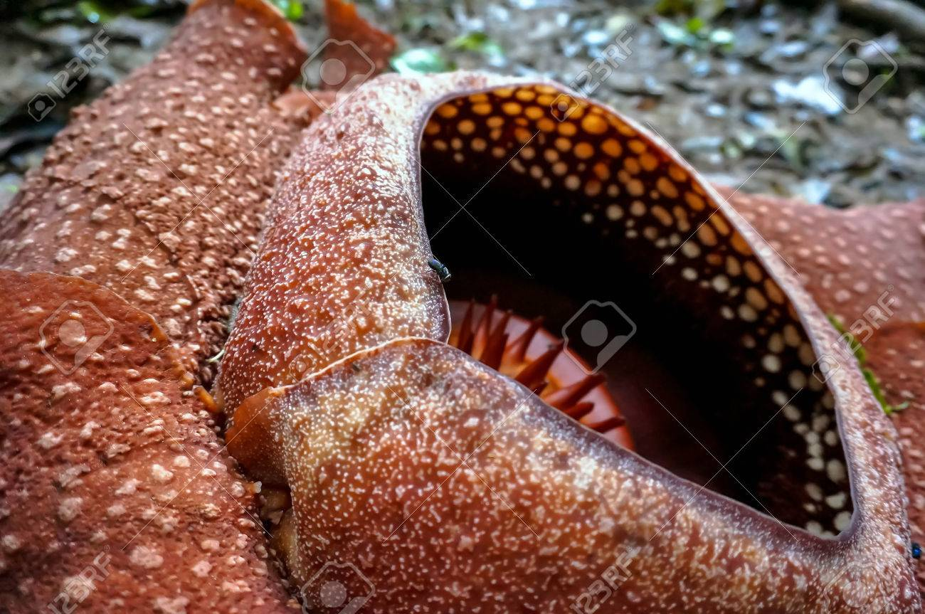 The worlds largest flower rafflesia rare beautiful red flower the worlds largest flower rafflesia rare beautiful red flower in the jungle stock photo dhlflorist Images