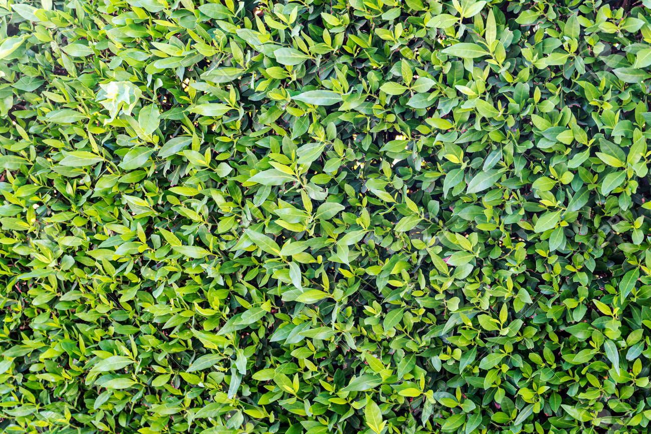 background of green leaves on bush. Texture of green plants - 173227015