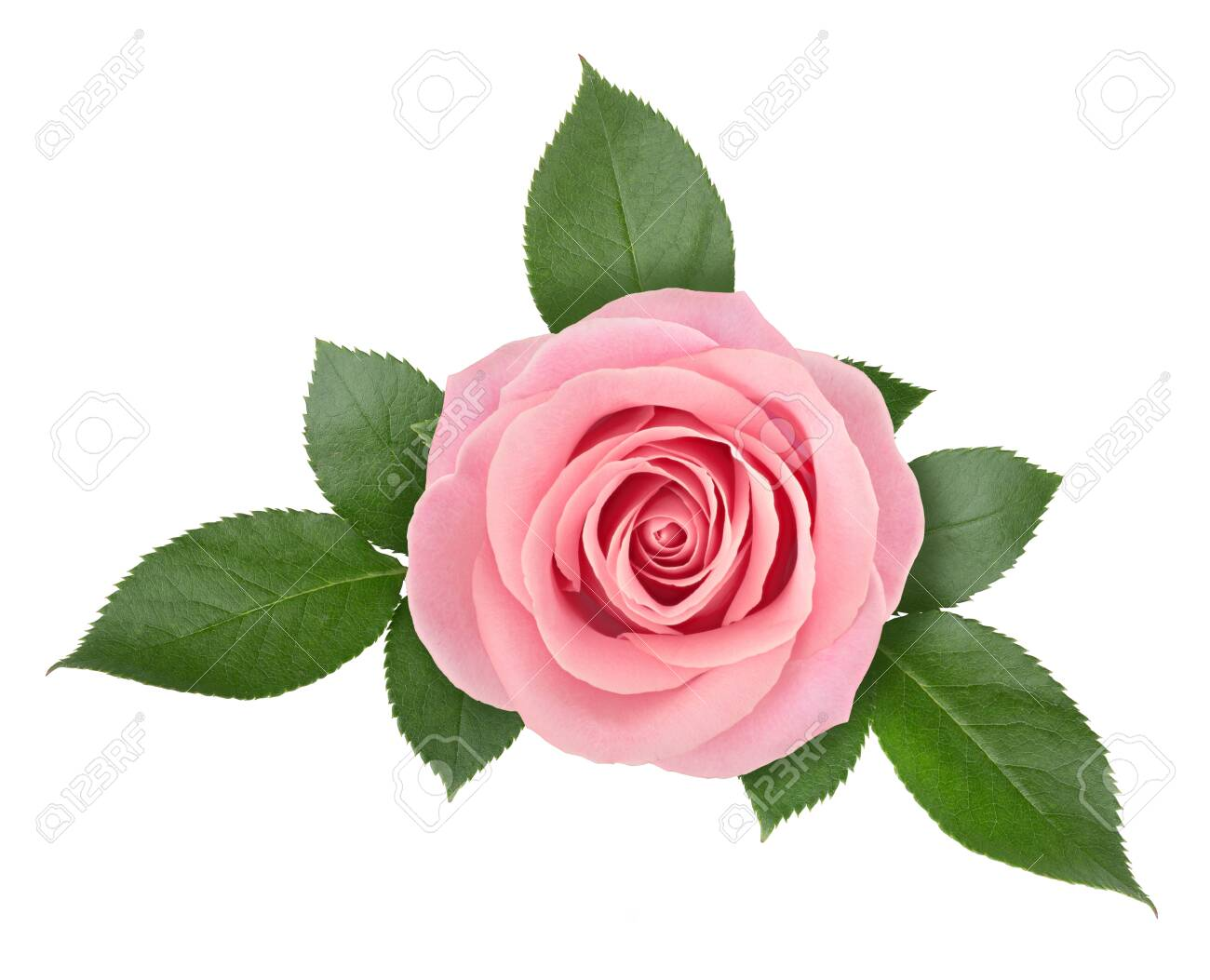 Rose flower arrangement isolated on a white background with clipping path. - 152887197