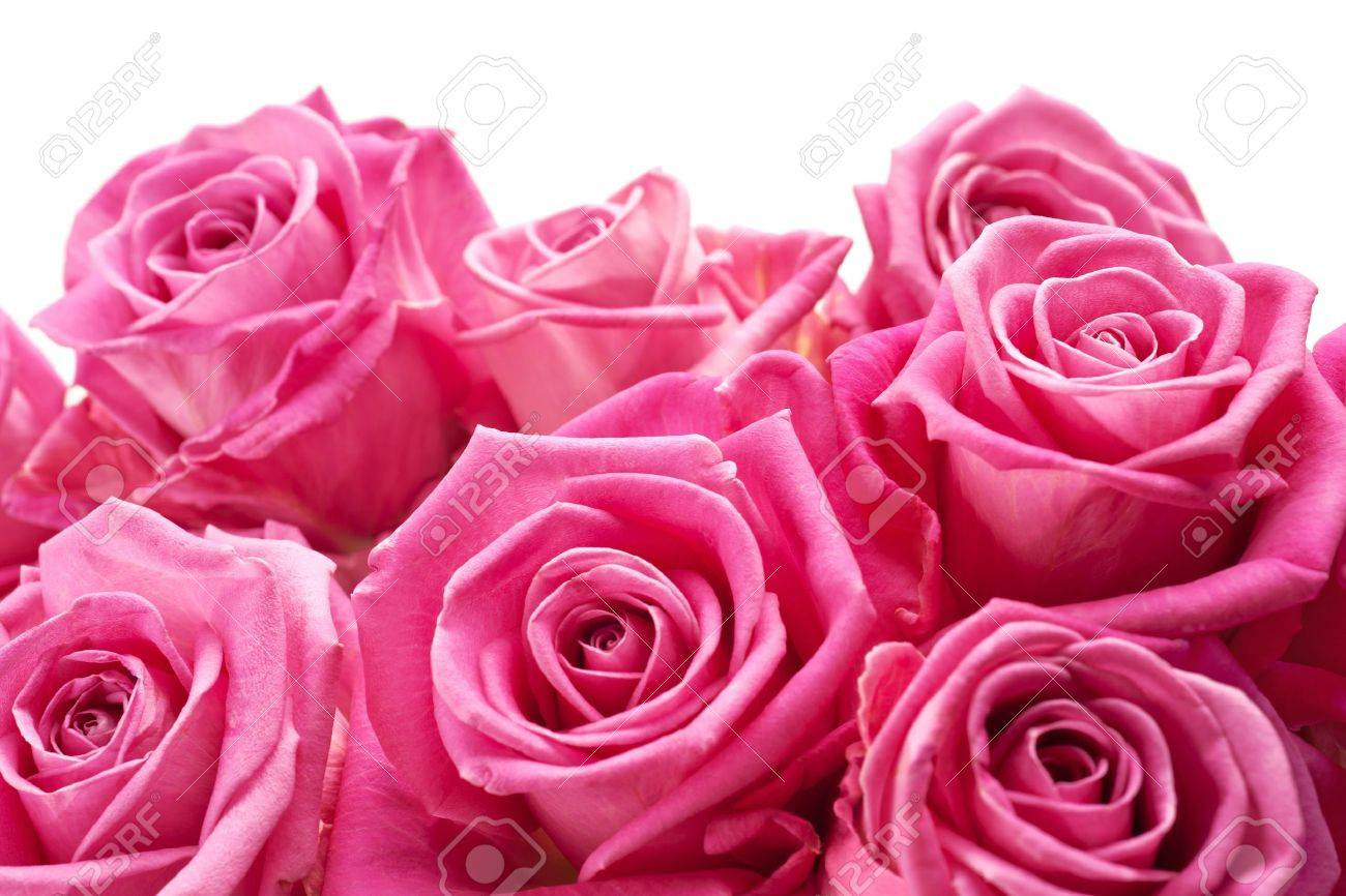 Pink roses on white background, may be positioned on bottom of page - 10058629