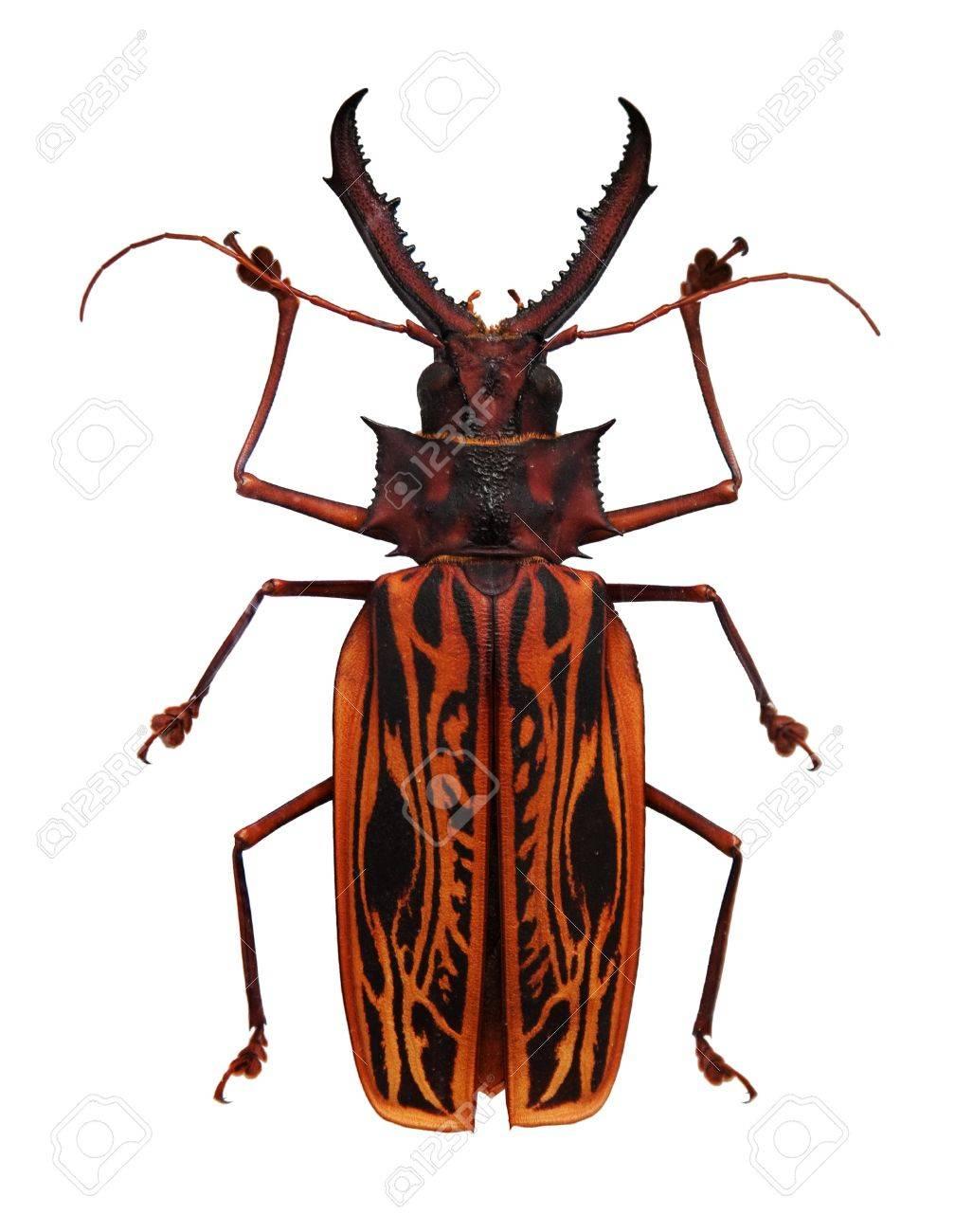 Big orange and black horned beetle isolated on white - 10026229