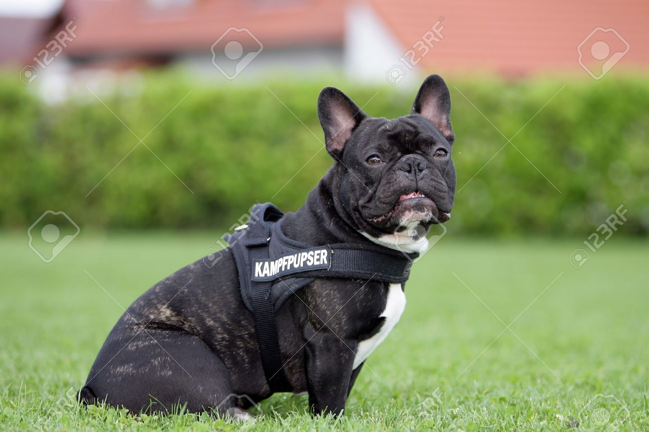French Bulldog With A Dog Harness Stock Photo, Picture And Royalty