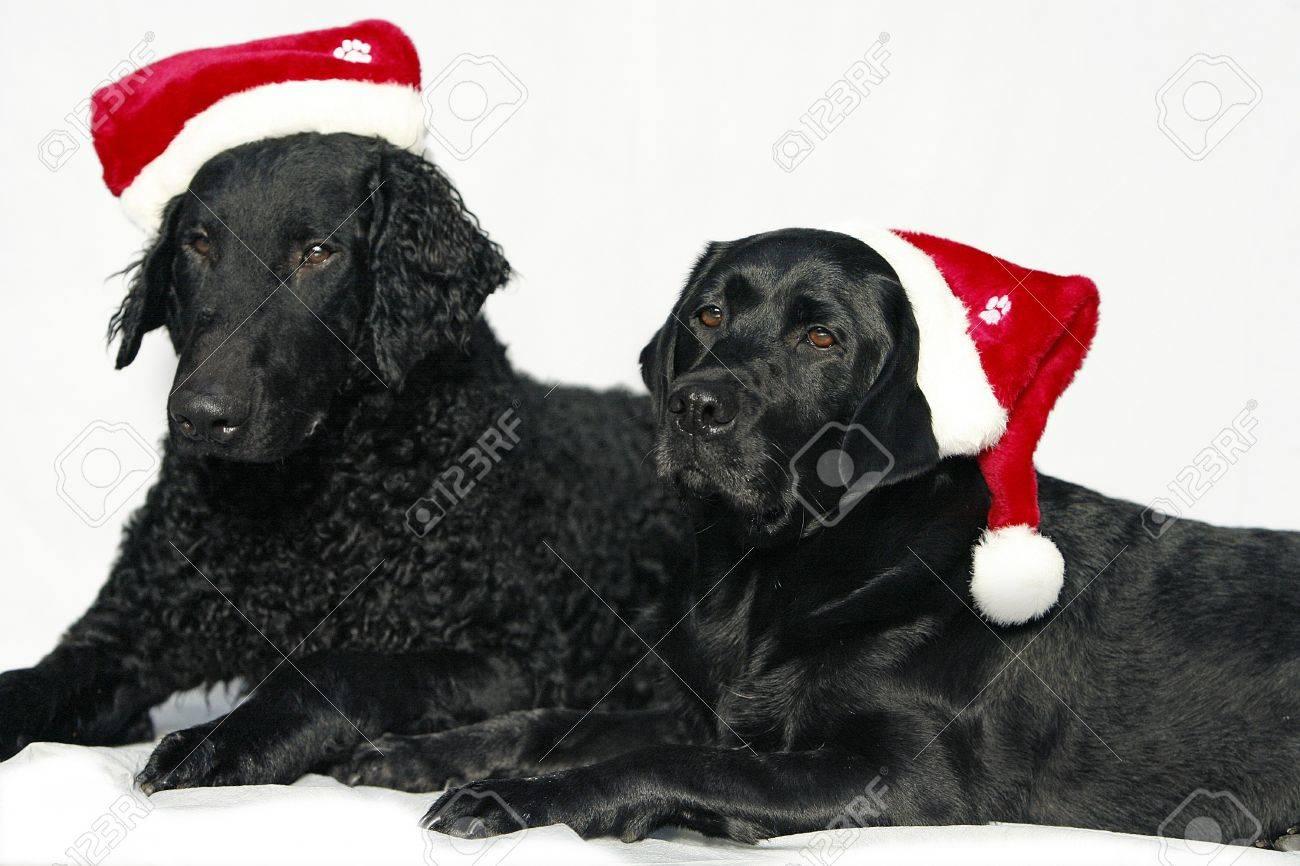 Retriever dogs with christmas caps Stock Photo - 7824815