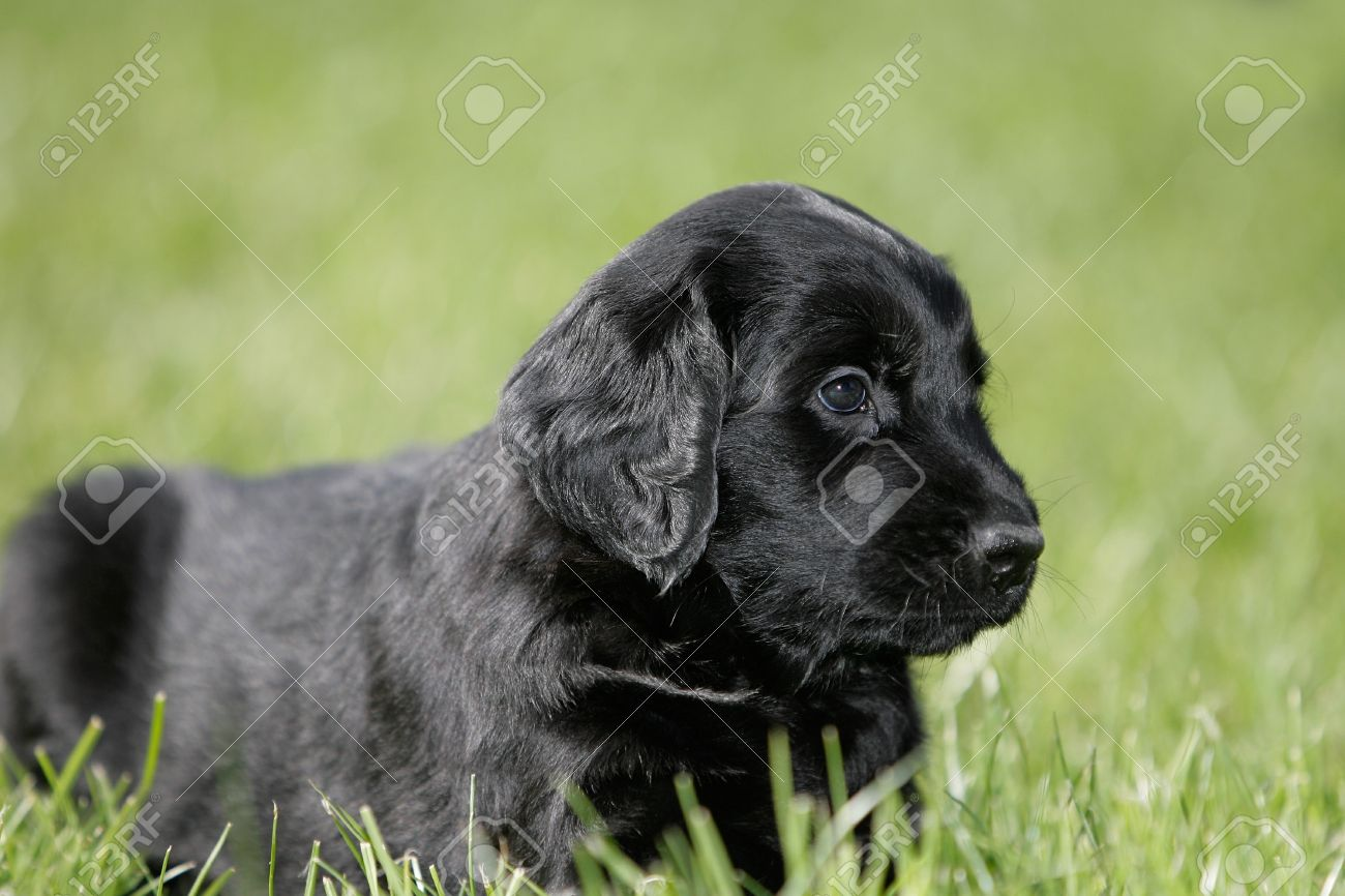 black flat coated retriever puppy