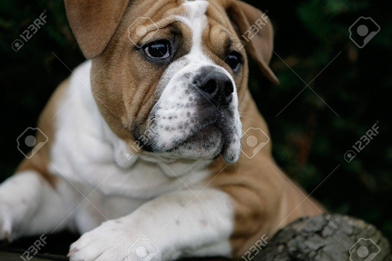 Curious Continental Bulldog Puppy Stock Photo Picture And Royalty Free Image Image 7796371