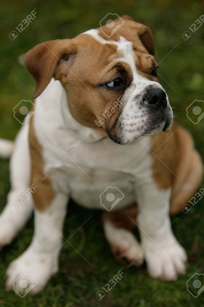 Sitting Continental Bulldog Puppy Stock Photo Picture And Royalty Free Image Image 7775187