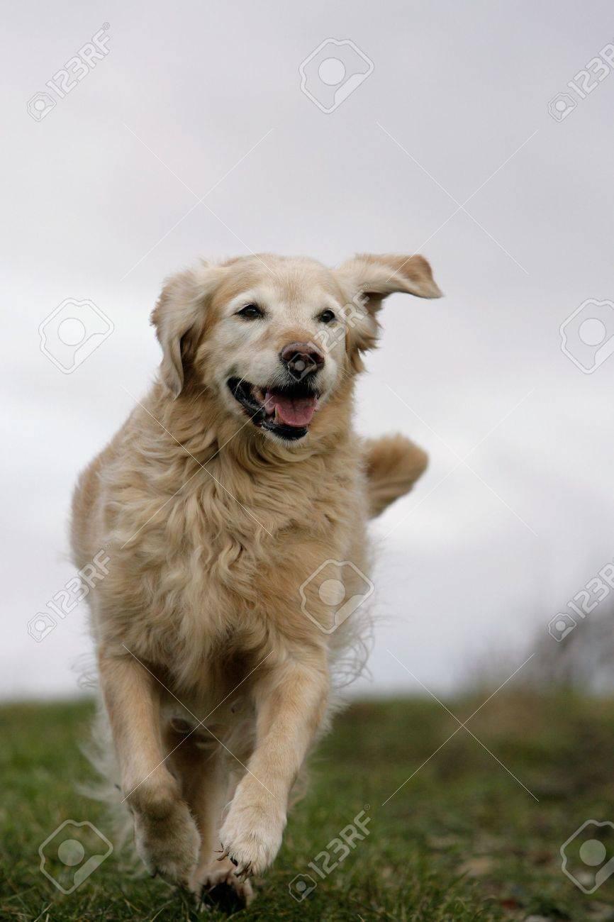 running golden retriever dog Stock Photo - 7795474