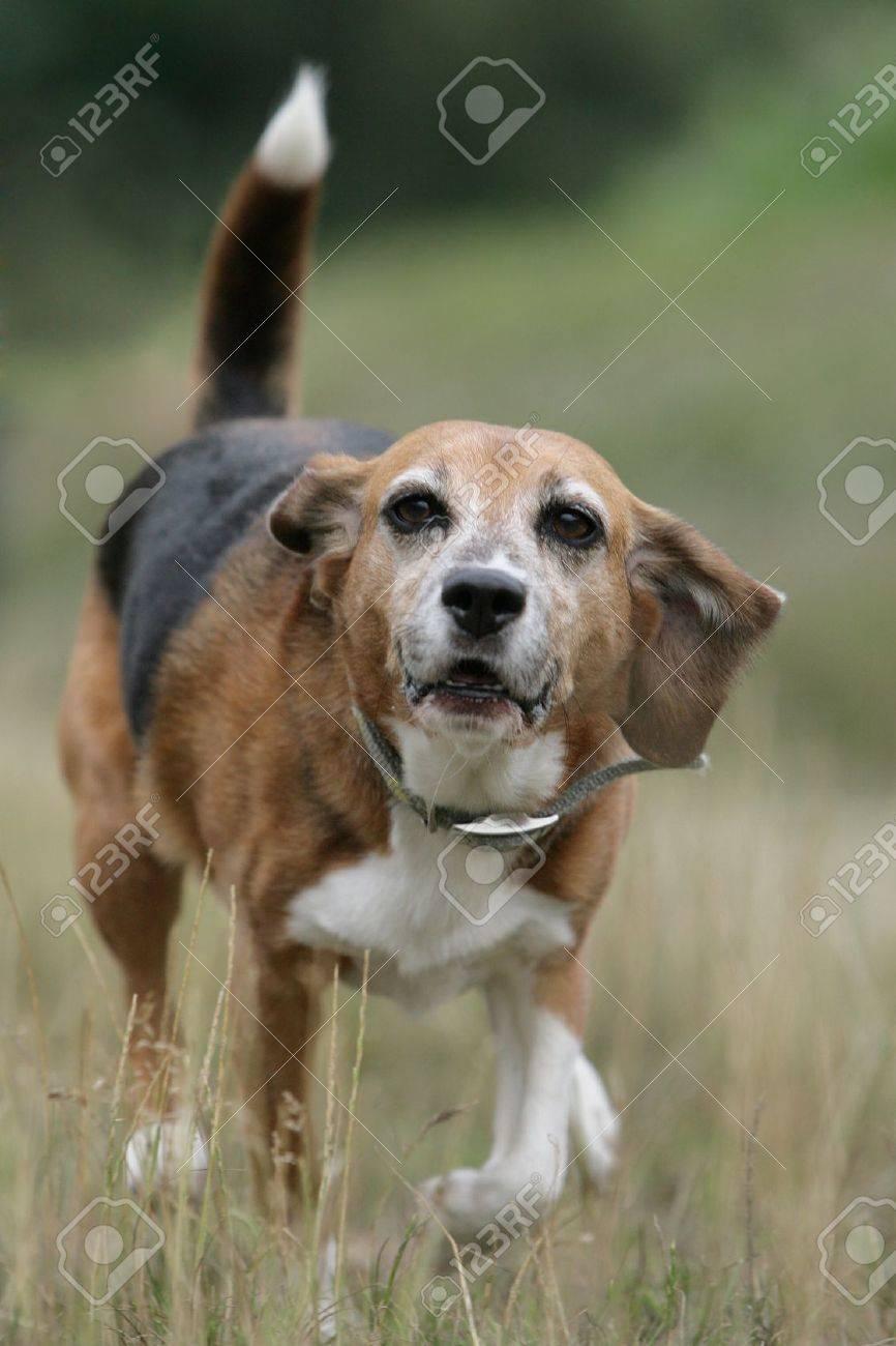 running beagle dog Stock Photo - 9868708
