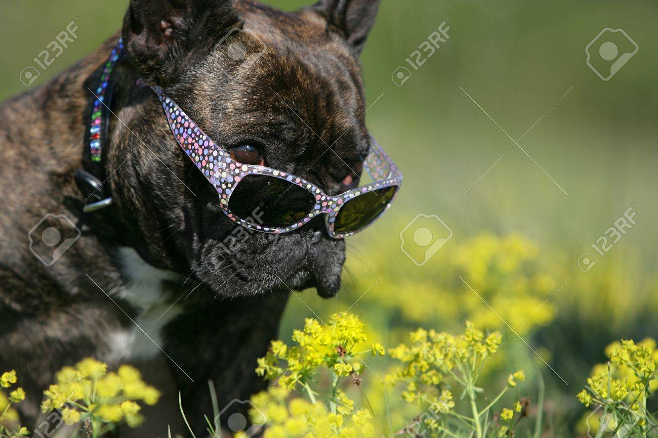 bulldog with sunglasses Stock Photo - 9732938